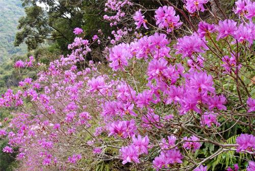Shimanto River Hanaki line Kuki azalea Festival