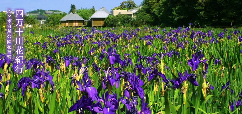 시만토강 꽃 기행 잠자리 자연 공원 꽃창포 축제